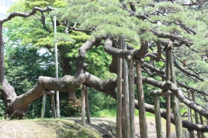 300 year old pine at Hama-rikyu